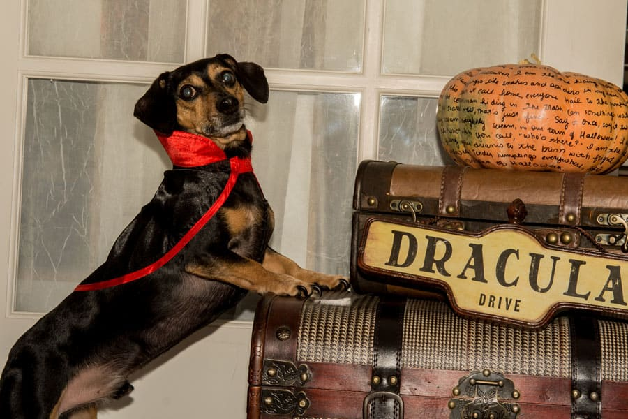 Halloween Tips for Safety Dog
