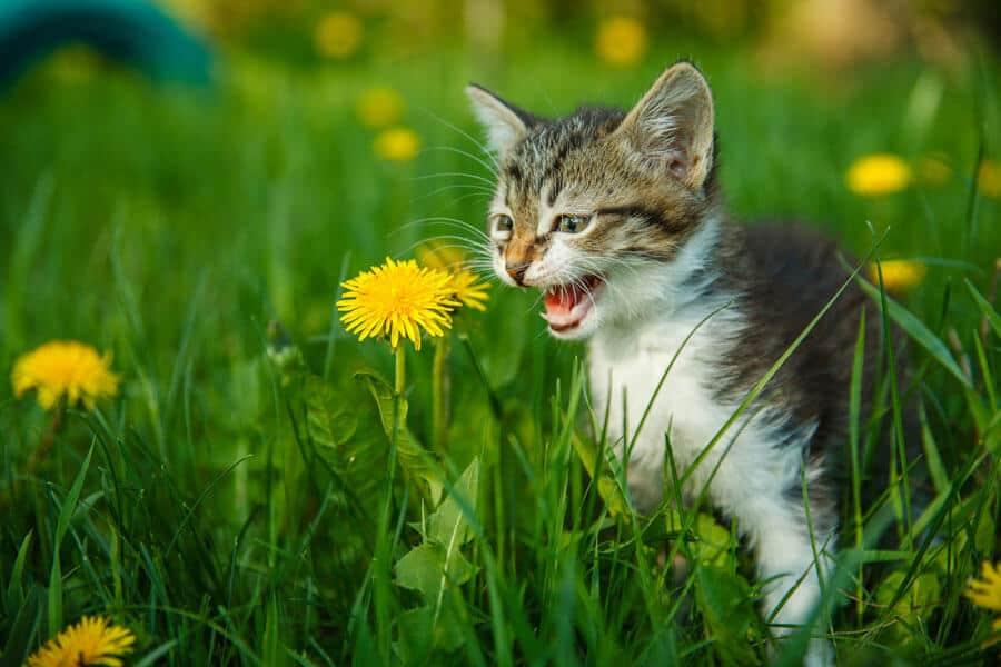 Sounds of Distress in Felines