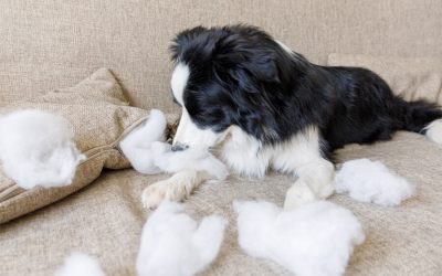 Naughty playful puppy with separation anxiety dog border collie after mischief biting pillow lying on couch at home