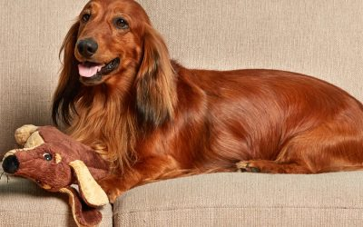 Pedigree dog with separation anxiety lies on comfortable sofa, plays with soft toy, waits for owners