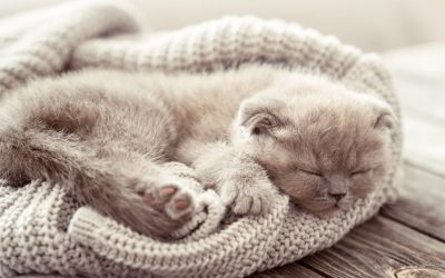 Kitten sleeps on a sweater which reduces separation distress